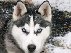хаски, глаз, волк