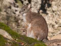 wallaby, сплошной
