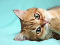 кот, red, красивый