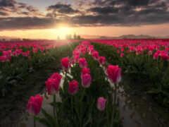 тюльпан, pinterest, цветы