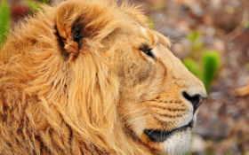 lion, profile, морда