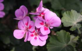фиалки, цветы, макро