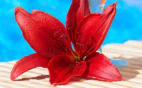 лилия, красная