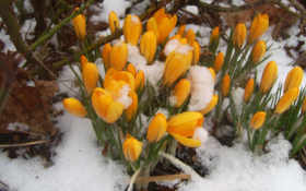 подснежники, весна