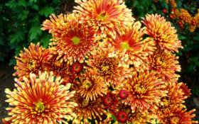 хризантемы, play, пестрые