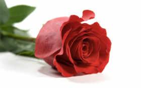 roza, красная, лепестки