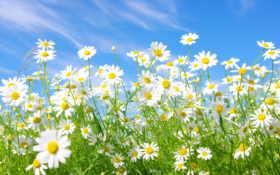 поле, ромашковое, цветы