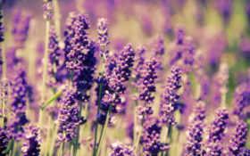lavender, поле, цветы