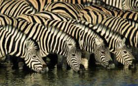 zebras, animals, africa