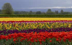 тюльпаны, pole, cvety