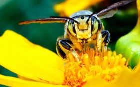 тычинки, пчела