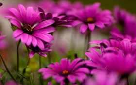 цветы, яркие, фиолетовые