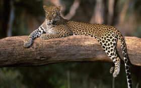 леопардживотные Фон № 15690 разрешение 1920x1200