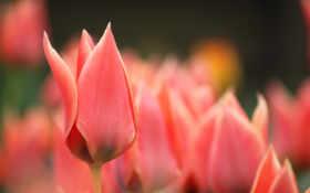 алые тюльпаны, розовые тюльпаны, цветы