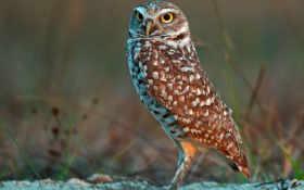 owl, wallpaper