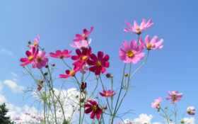 flowers, космея, небо
