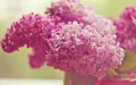 цветы, сиреневый, широкоформатные