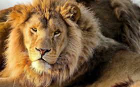 lion, морда, грива Фон № 56871 разрешение 2560x1440