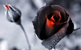 розы, красные, снег