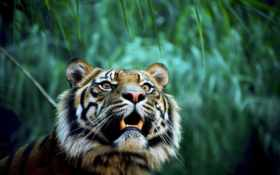 zhivotnye, тигр, клыки