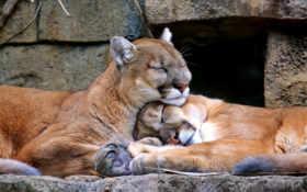 лев, горный, puma