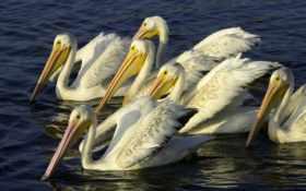 wallpaper, pelicans