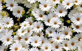 поляна, белых, нежно