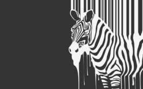 zebra, зебра