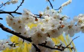 весна, природа, абрикос