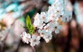 цветы яблыни