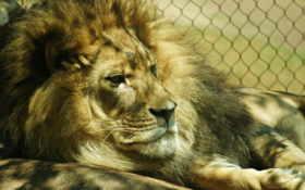 лев в клетке