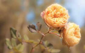 роза, чая, розы