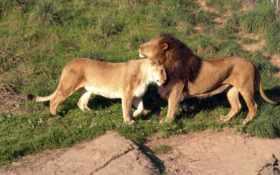 львы, животные