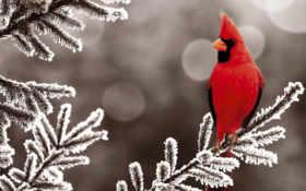 кардинал, красный, птица