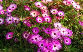 цветы, много, мезембриантемум