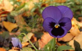 фиолетовый, цветы, осень
