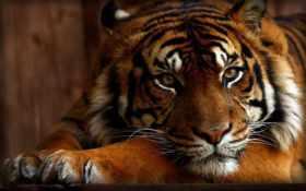 играть, тигр