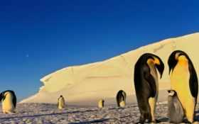 пингвины, снег, зима