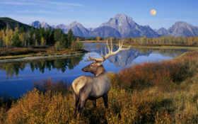 рога, олень, природа