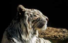 тигр, кот, дикая Фон № 54938 разрешение 1920x1200