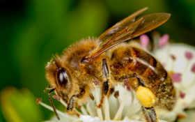пчелка, albo, nie