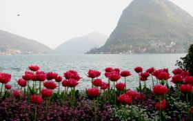 горы, тюльпаны