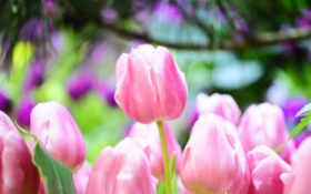 тюльпаны, розовый