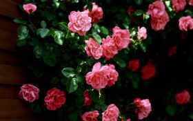 цветы, розы, красивые Фон № 113953 разрешение 1920x1080