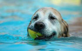 dog, swimming
