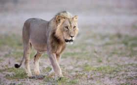 идущий лев