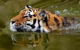 морда, тигр Фон № 19365 разрешение 1920x1200