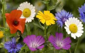 цветы, полевые, васильки