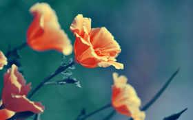 оранжевые, цветы, макро