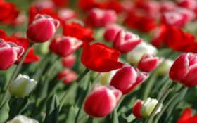 tulips, wallpaper